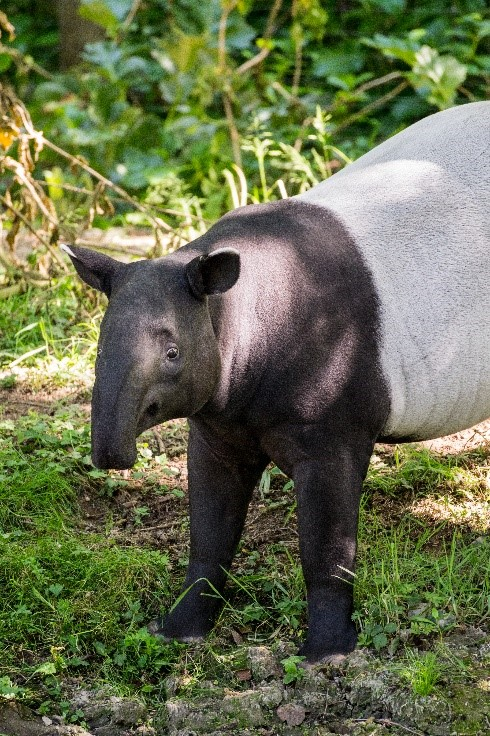 photo tapir gris zoo